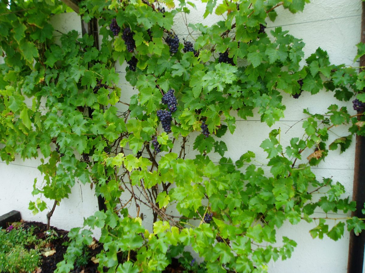 New build garden Cenarth grapes