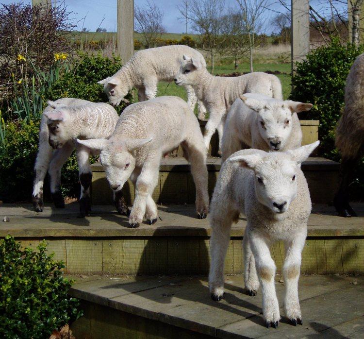 Lambs on deck