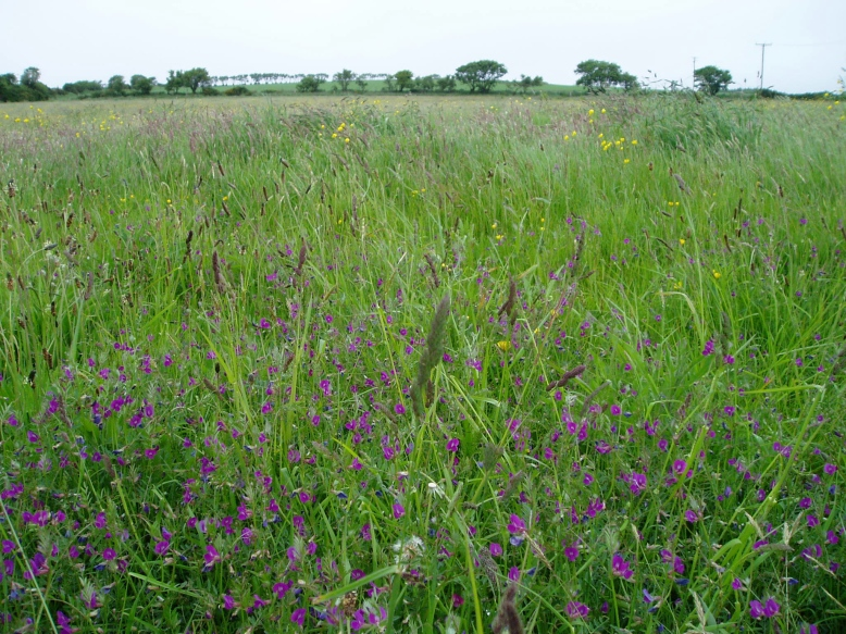 Traditional hay meadow