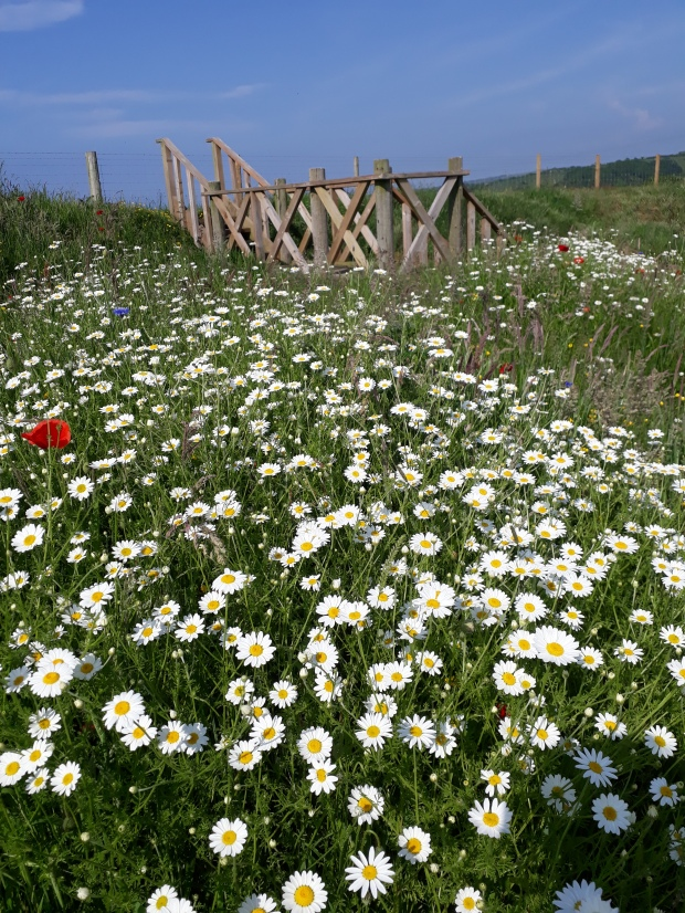 Wildflower meadow aberporth