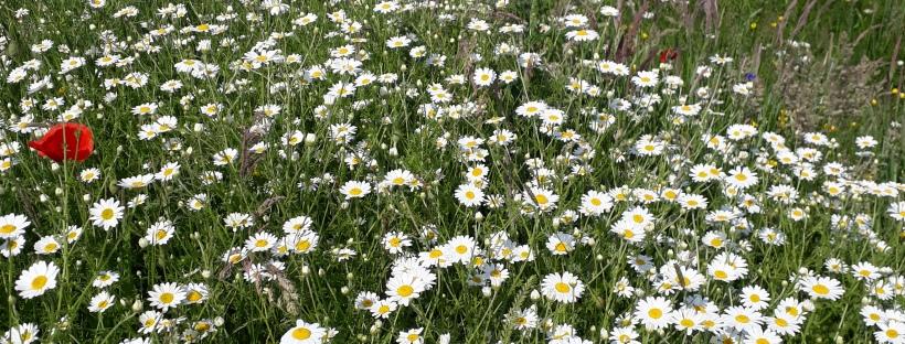 Wildflower meadow aberporth 2
